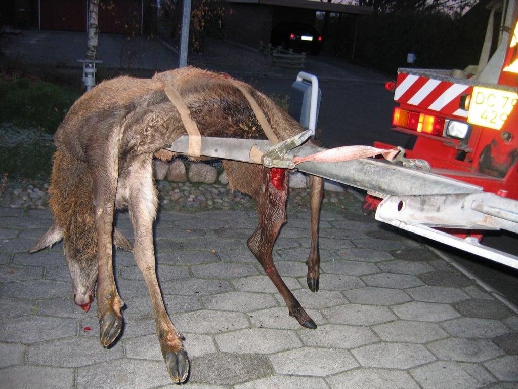 PRESSEMEDDELELSE: Påkørte hjorte – Nu skal du passe på i trafikken