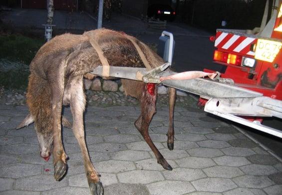 Pressemeddelelse Dyrenes Beskyttelse Paakoerte hjorte Nu skal du passe paa i trafikken e1573300993235
