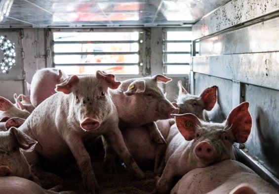 PRESSEMEDDELELSE: Danske vognmænd bryder reglerne for dyretransporter