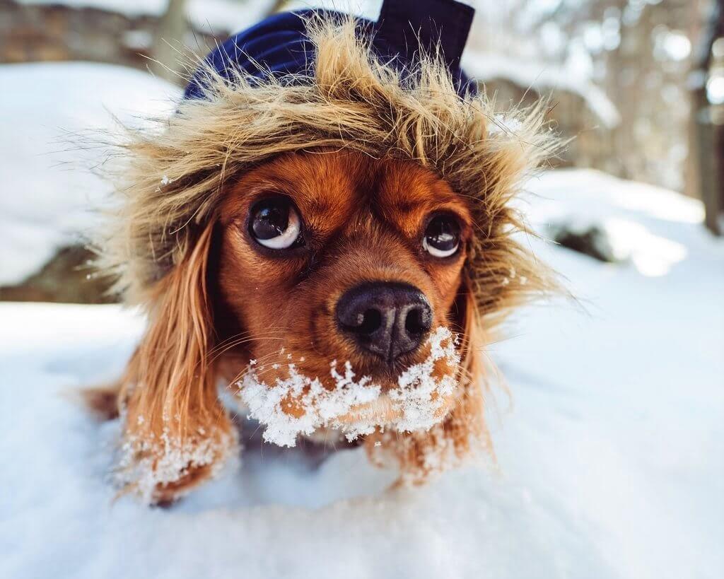 PRESSEMEDDELELSE - Kolde morgener venter i februar, hjælp hunden godt gennem vinteren (2)