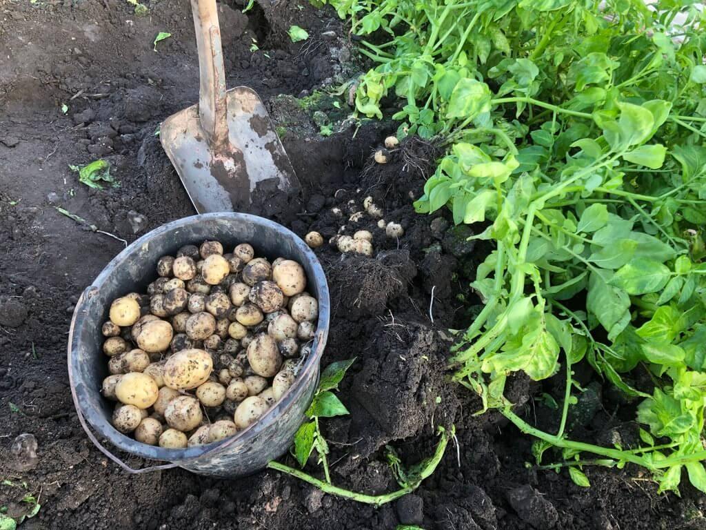 PRESSEMEDDELELSE: De første danske kartofler er klar i føtex