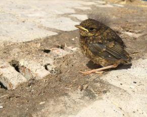 PRESSEMEDDELELSE: Fugleunger får 1812 til at gløde