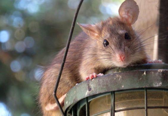 PRESSEMEDDELELSE: Rotteproblemer kan eskalere i ly af COVID-19