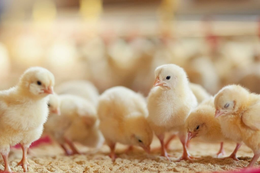 PRESSEMEDDELELSE: Aldi tager kvantespring for 1,6 millioner kyllinger