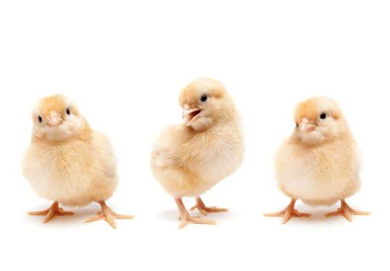 PRESSEMEDDELELSE: Revolution i dansk produktion giver bedre forhold for 12 millioner kyllinger