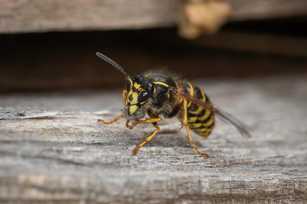 PRESSEMEDDELELSE: Hvepseallergikere skal passe på i sensommeren