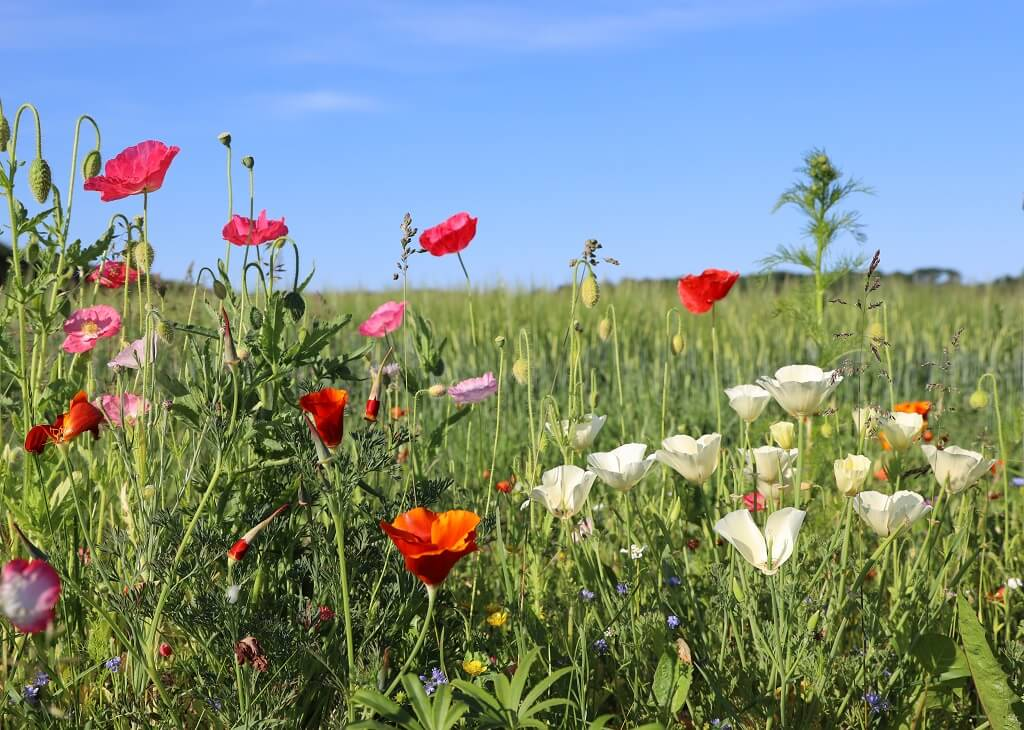 PRESSEMEDDELELSE: Markblomster fremfor højt græs gavner både bier og allergikere