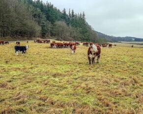 PRESSEMEDDELELSE – Højere gebyrer for gårdslagtning og nødslagtning kan gå ud over dyrevelfærd og bæredygtighed