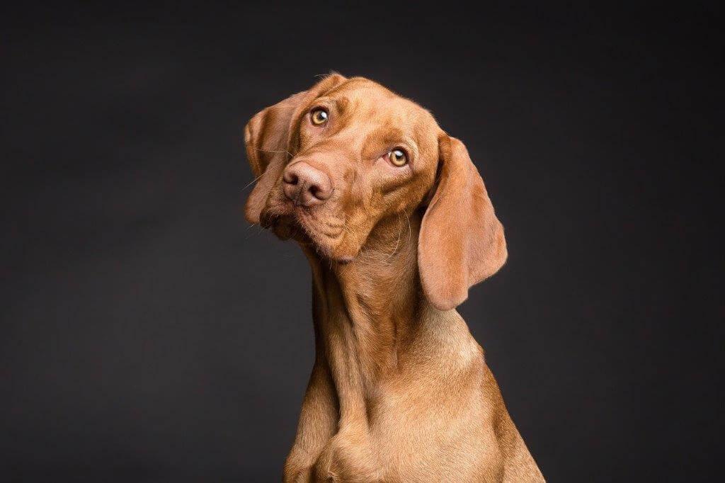 PRESSEMEDDELELSE – Forstørret prostata er et overset problem hos hanhunde