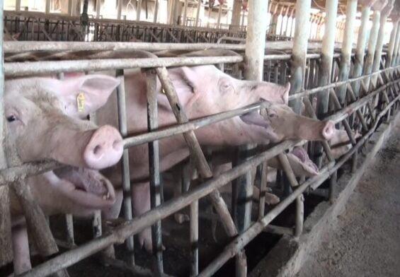 PRESSEMEDDELELSE – 142 internationale forskere kræver stop for tremme-dyr i landbruget