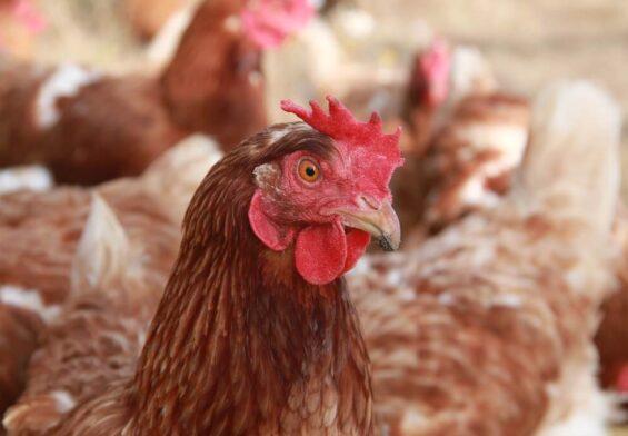 PRESSEMEDDELELSE – Bornholmsk fjerkræhold ramt af fugleinfluenza